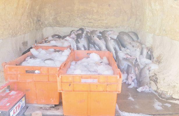 Policía Federal decomisó 613 kilos de pesca ilegal