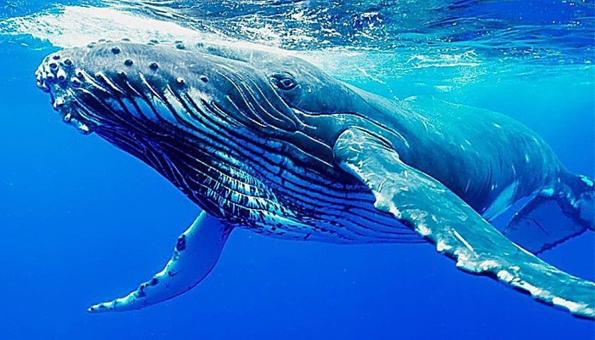 ballenas-barbadas