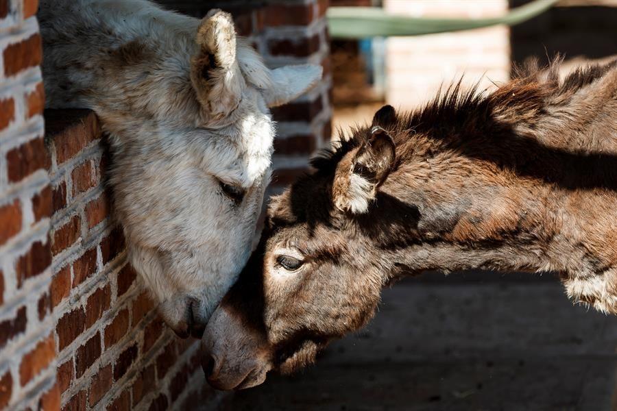 la-lucha-por-la-supervivencia-del-burro-mexicano-en-la-era-tecnologica