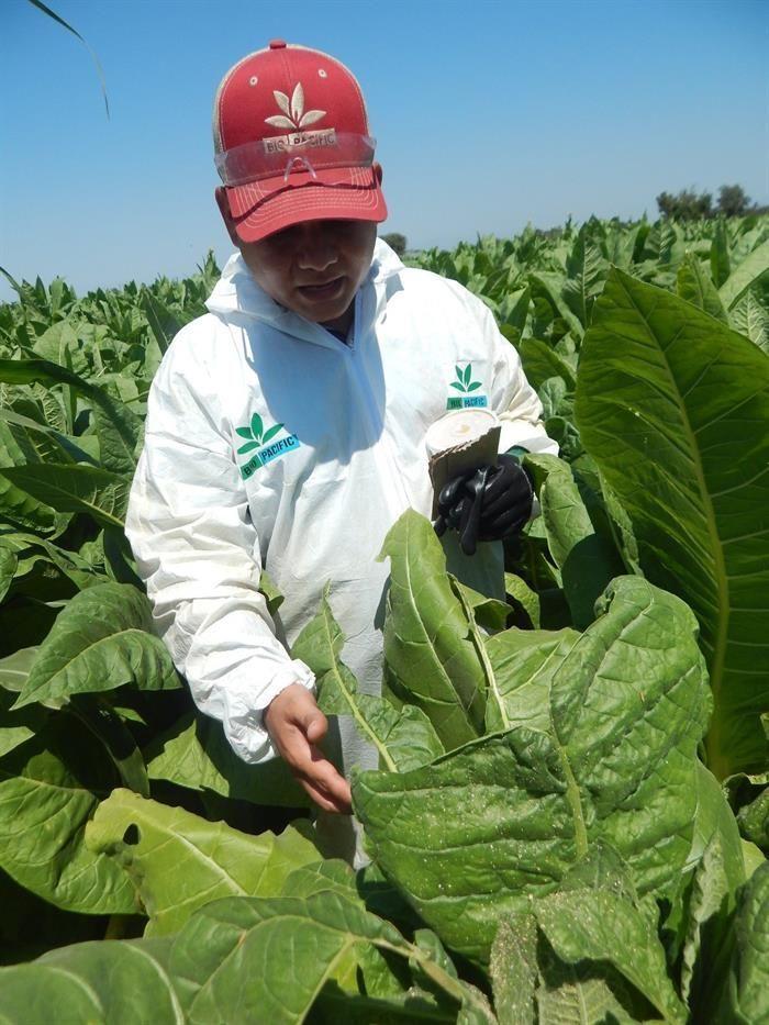 plagas-y-cambio-climatico-afectan-a-cultivos-de-tabaco-en-mexico