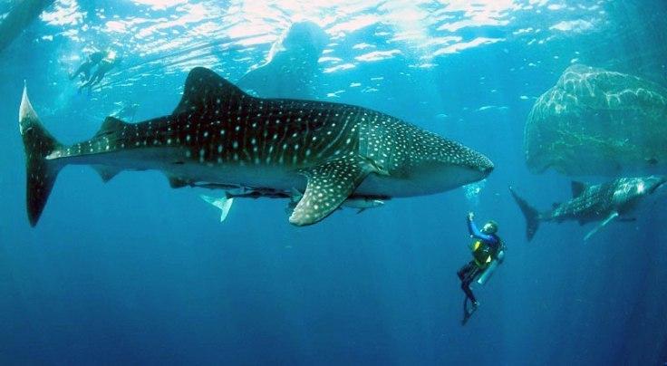 tiburón ballena cabo pulmo los cabos