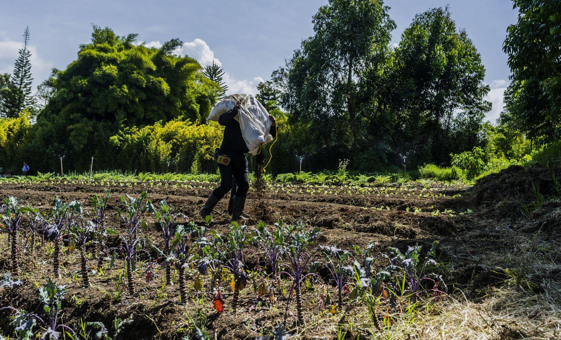 Un trabajador de una granja en Llanogrande (Colombia), donde cultivan legumbres y hortalizas para abastecer la cocina de Olivia