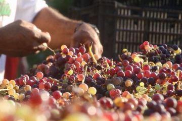 Mujeres comondueñas exprimen la uva del vino con los pies como hace 300 años