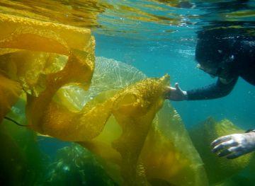 Baja en noroeste de México el sargazo gigante, macroalga esencial para el mar