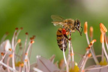 """Reducción de población de abejas """"amenaza"""" la producción de alimentos"""