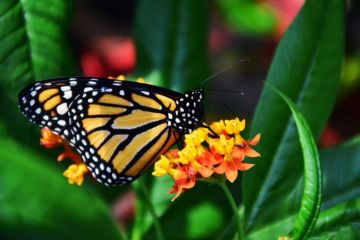 Baja un 53 % la ocupación de la mariposa monarca en los bosques mexicanos