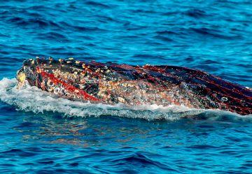 Buzos salvan la vida a una ballena atrapada en red de pesca  en La Paz