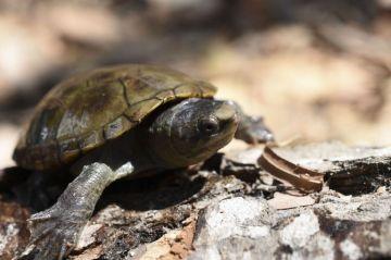 Descubren nueva especie de tortuga en Puerto Vallarta