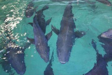 Liberan 40.000 crías de totoaba en el Mar de Cortés