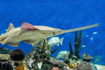 """Científico sigue rastro de ADN del pez sierra, un animal """"de fantasía"""", para"""