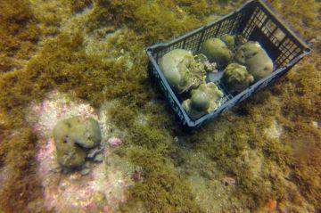 Mortal enfermedad de corales se extiende desde Quintana Roo agravada por el
