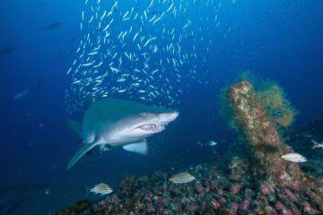 Los tiburones tigre comen pájaros terrestres