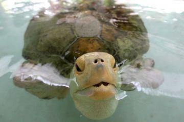 """Tortuga mutilada se convierte en """"embajadora"""" de un programa de conservación"""