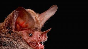 """Revelan trucos del """"vampiro"""" para alimentarse de sangre"""