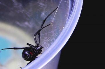 Las arañas más peligrosas de las que te debes cuidar